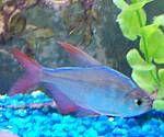 Magenta Fish