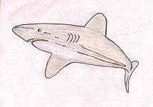 Shark meat is high in mercury